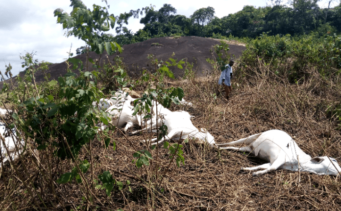 Dead cows on a mountain