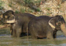 Over 360 Elephants Found Dead From Unknown Causes in Botswana